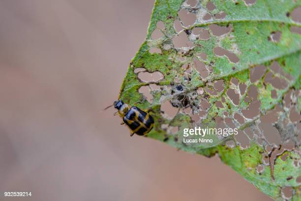 diabrotica speciosa on soybean plant - pest stock photos and pictures