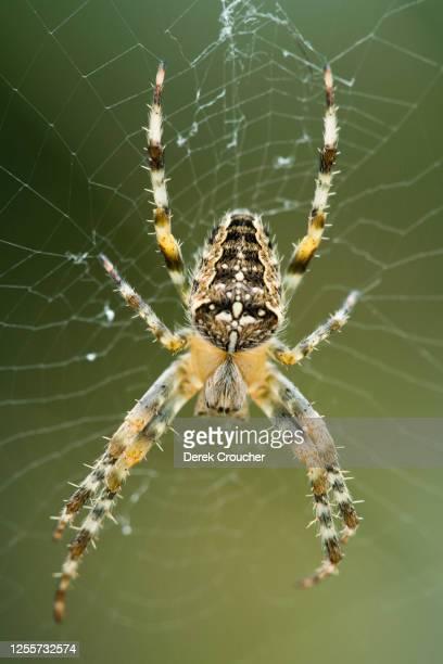 diadem spider, araneus diadematus. - ニワオニグモ ストックフォトと画像