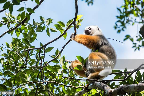 diademed sifaka (propithecus diadema), a large lemur in perinet reserve, andasibe-mantadia national park, eastern madagascar, africa - nature reserve stock pictures, royalty-free photos & images
