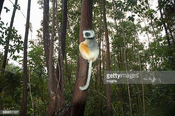 Diademed Sifaka AndasibeMantadia National Park Toamasina Province Madagascar