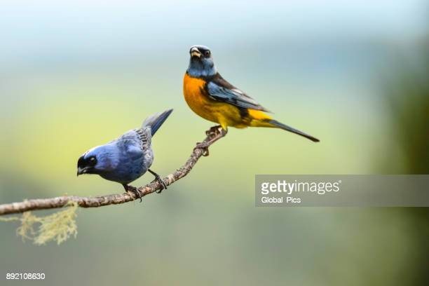 Diademed tanager and Blue-and-yellow tanager