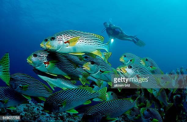 Diagonalbanded sweetlips and sucba diver Plectorhinchus lineatus Australia Pacific Ocean Coral Sea