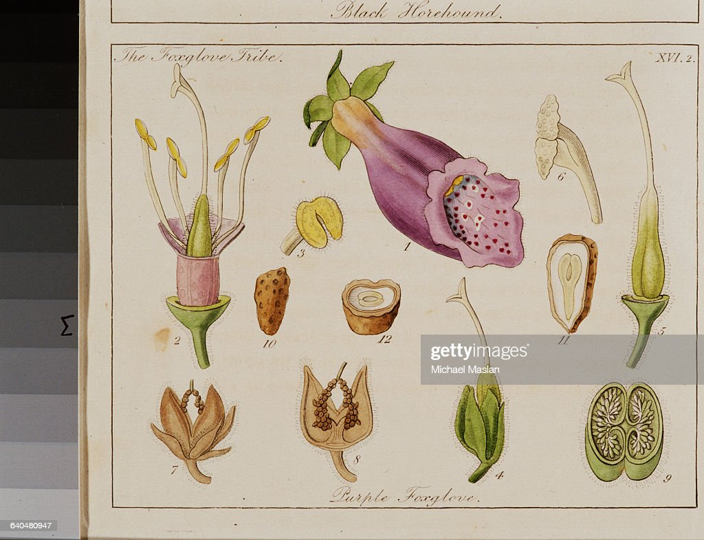 Foxglove print pictures getty images a diagram and cross sections of a foxglove flower from the 1834 text ladies ccuart Gallery