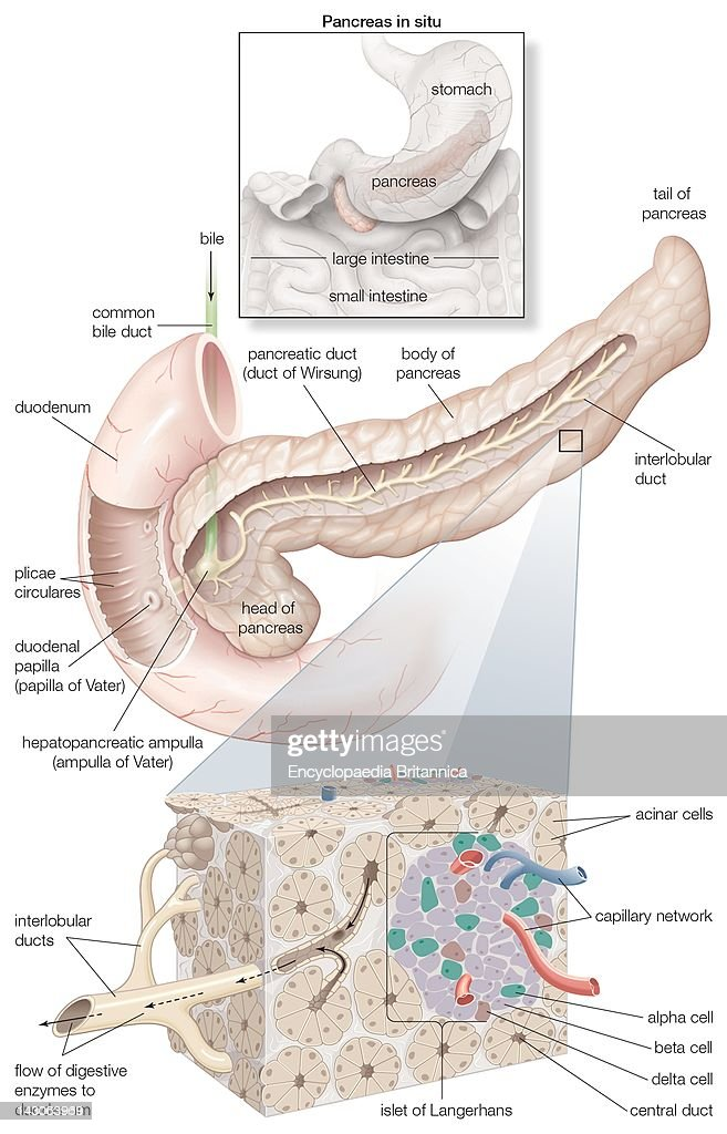 Diagram detailing the parts of the pancreas as well as an inset of diagram detailing the parts of the pancreas as well as an inset of its in ccuart Choice Image