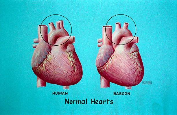 Human and Baboon Normal Hearts Pictures   Getty Images