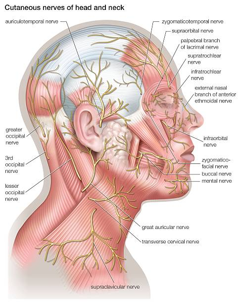 Diagram Of The Cutaneous Nerves Of The Head And Neck Pictures
