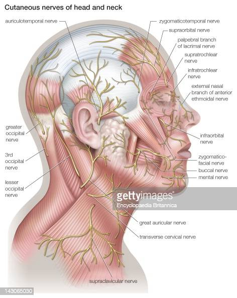 Diagram Of The Cutaneous Nerves Of The Head And Neck News Photo