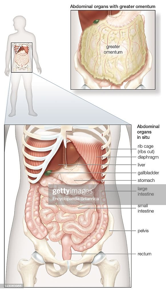 Rib Cage Human Body Digestive System Diagram - DIY Enthusiasts ...