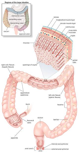 Diagram Of The Human Large Intestines, Including And Inset Of Its ...