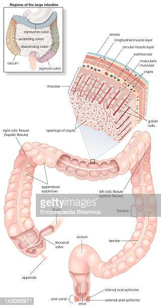 Diagram Of The Human Large Intestines Including And Inset Of Its Musculature And Mucosa Histology And An Inset Of Its Regions