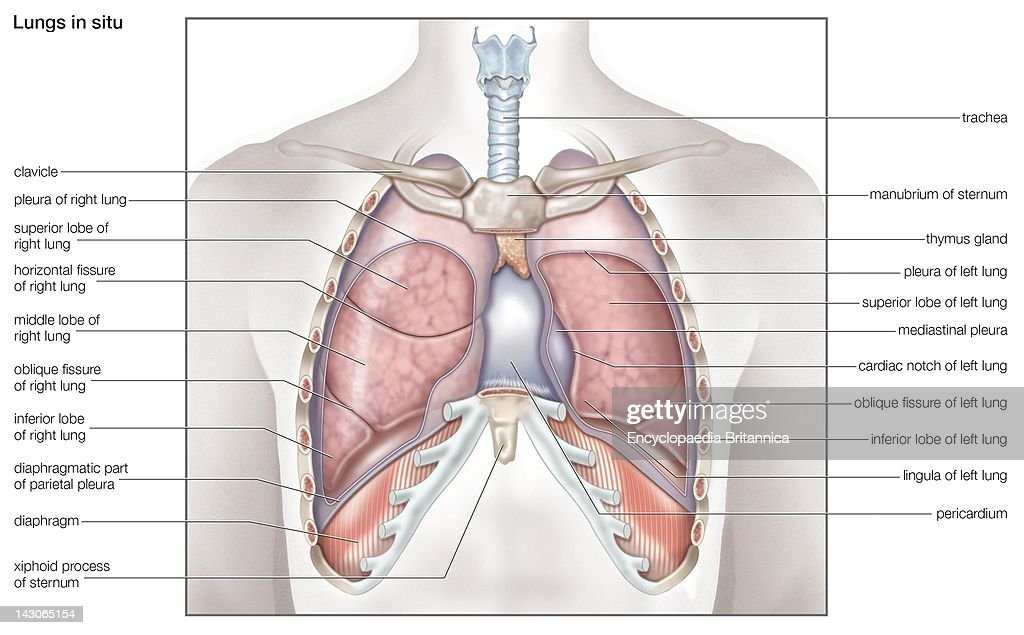 Human Lung Lobe Diagram Circuit Connection Diagram
