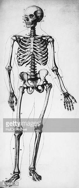 A diagram of the human skeleton circa 1900