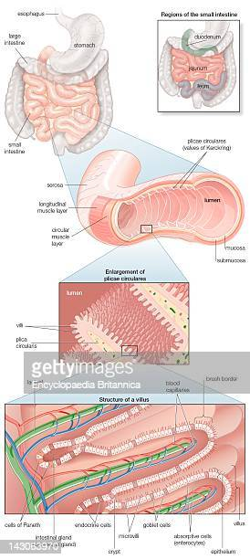 Diagram Of The Human Small Intestine With Insets Of Musculature Mucosa Histology And Its Regions In Situ