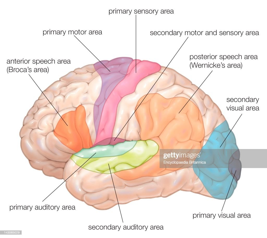 Diagram of the lateral view of the human brain showing the diagram of the lateral view of the human brain showing the functional areas motor ccuart Gallery