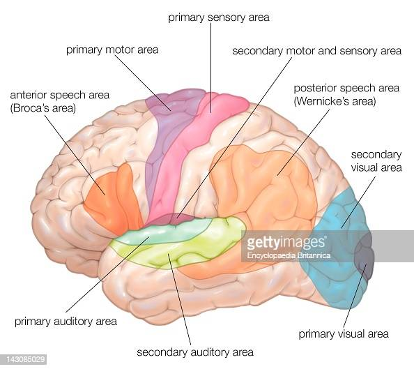 Diagram of the lateral view of the human brain showing the diagram of the lateral view of the human brain showing the functional areas motor sensory auditory visual and speech pictures getty images ccuart Choice Image