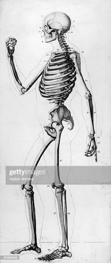 A Diagram Showing A Side View Of The Human Skeleton Circa 1900