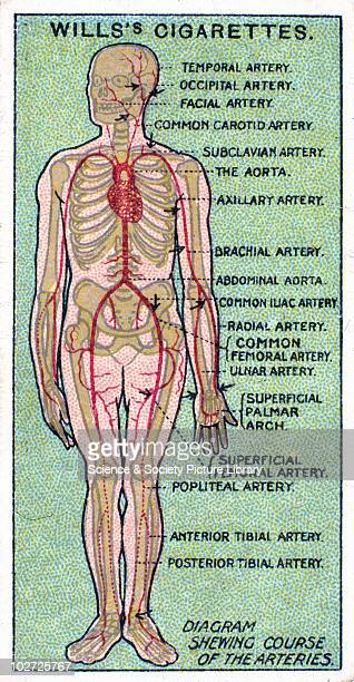 Popliteal Artery Stock Photos and Pictures | Getty Images