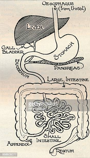 'Diagram showing the Alimentary Canal which passes right through the body' c1934 From The Treasury of Knowledge [Richard Clay Sons Ltd Bungay Suffolk...