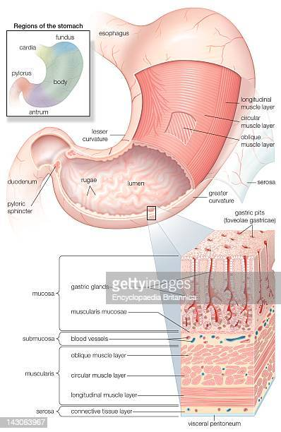 Diagram Showing The Mucosa And Musculature Of The Human Stomach Plus Insets Of Histology And Regions