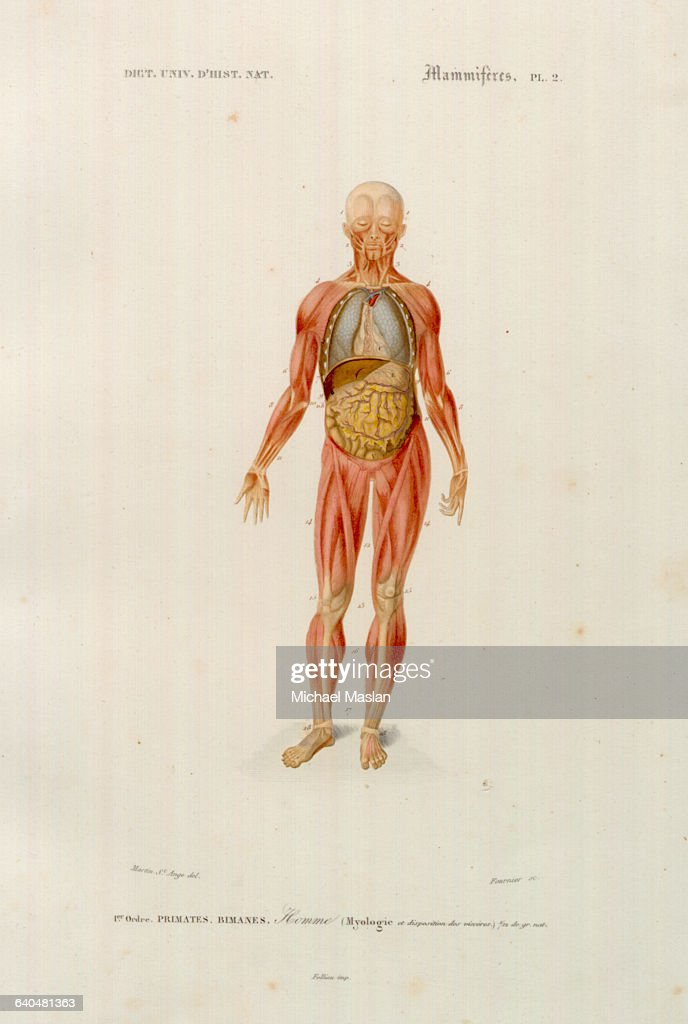 A Diagram Shows The Muscles And Internal Organs Of The Human Body In