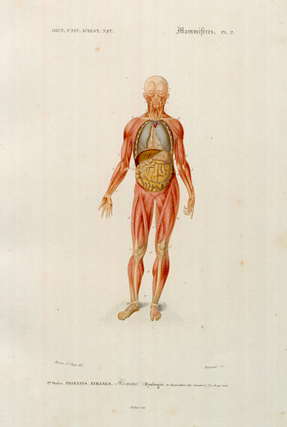 Diagram of the Muscles and Organs of the Human Body from ...