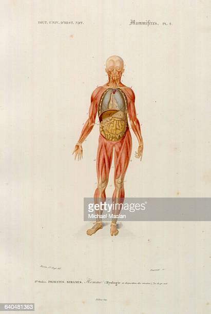 Diagram Of The Human Body Stock Photos And Pictures Getty Images