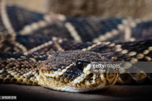 diamond back rattle snake - eastern diamondback rattlesnake stock pictures, royalty-free photos & images