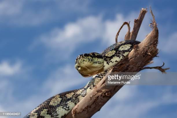 diamond python - snakeskin stock pictures, royalty-free photos & images
