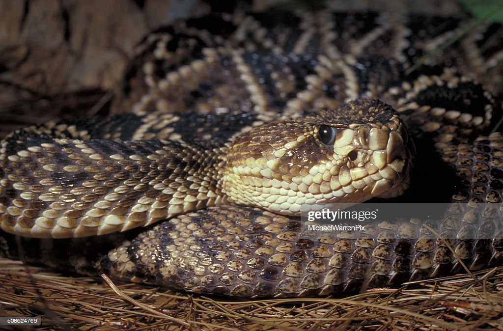 Diamondback Rattlesnake : Stock Photo