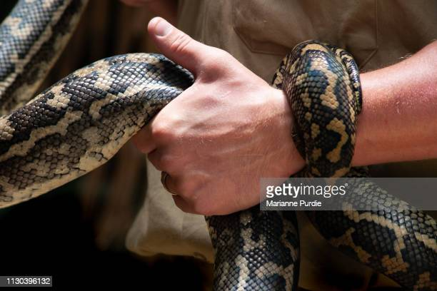 diamonds python snake - zoo keeper stock pictures, royalty-free photos & images
