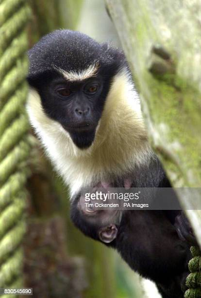 A Diana Monkey cradles her 4dayold baby at Chessington World of Adventure Keepers discovered the baby on Valentine's Day 2001 but have not been able...