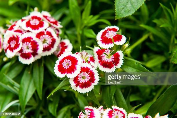 dianthus barbatus (sweet william) flower. - cravo cravo da china imagens e fotografias de stock