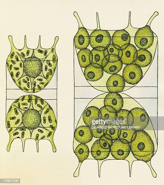 Diatom algae reproduction through sporulation Drawing