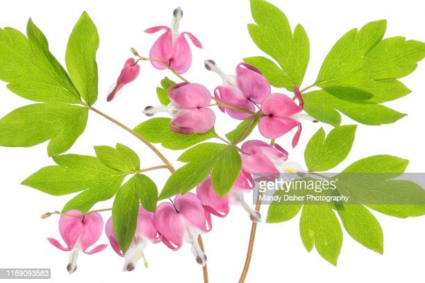 dicentra lamprocapnos - mandy pritty stock pictures, royalty-free photos & images
