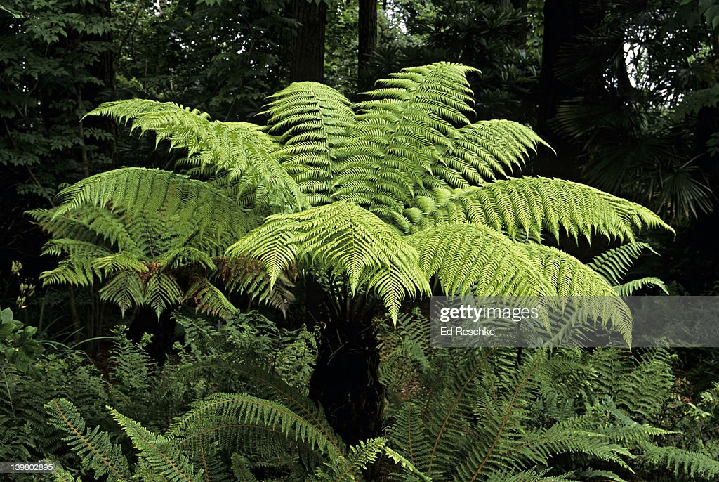 tasmanian tree fern dicksonia antarctica most tree ferns are in tropical rainforests australia. Black Bedroom Furniture Sets. Home Design Ideas