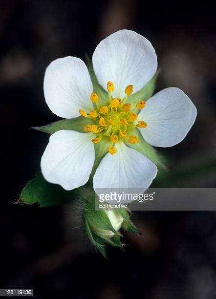 Dicot flower structure of Common Strawberry, Fragaria virginiana. Flower parts arranged in 4s or 5s or multiples thereof (not 3s). Flower has 5 sepals, 5 petals, numerous stamens and pistils. Wild native species, sweet strawberries. Michigan. USA