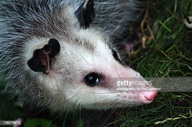 didelphimorphia - opossum stock photos and pictures