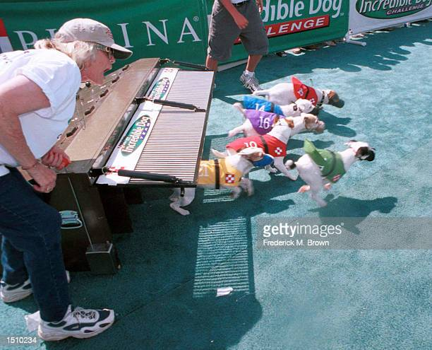 Didi Gough starts the Terrier Hurdle Race at the Incredible Dog Challenge in Pomona, C.A., April 2000. The winners will move on to the national...