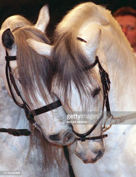 """Die Andalusier-Pferde """"Vinagritto"""" und """"Listo"""" bei der Eröffnung der Pferdemese """"Equitana 99"""" am in Esssen. Die edlen Tiere nehmen an der Hop Top..."""