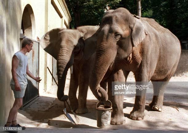 Die beiden Elefanten 'Wankie' und 'Siwa' gehören im Wuppertaler Zoo zu den Schützlingen von Tierpfleger Edward Bärg , aufgen. Am 16.8.1995. Seit...