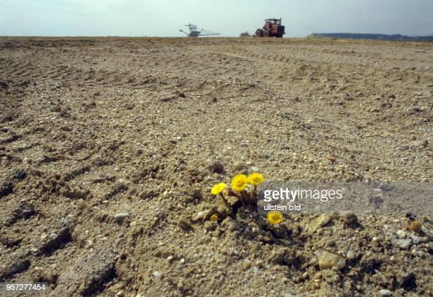 Die Blüten einer HuflattichPflanze haben sich durch den Boden einer zur Rekultivierung vorgesehenen Fläche im ehemaligen Braunkohletagebau Welzow...