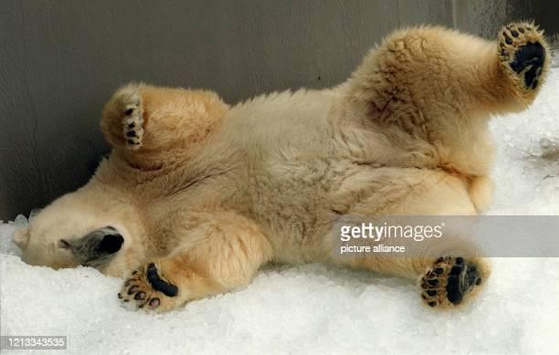 """Die Eisbärin """"Irka"""" suhlt sich am in gerade frisch eingetroffenen Eis im """"Zoo am Meer"""" in Bremerhaven. Der Bremerhavener Zoo am Meer trauert um seine..."""