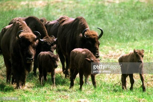 Die ersten Ausflüge im Schutz ihrer Herde unternehmen die rund drei Wochen alten Jung-Wisente im Wisent-Gehege bei Springe. Nachdem die Bestände um...