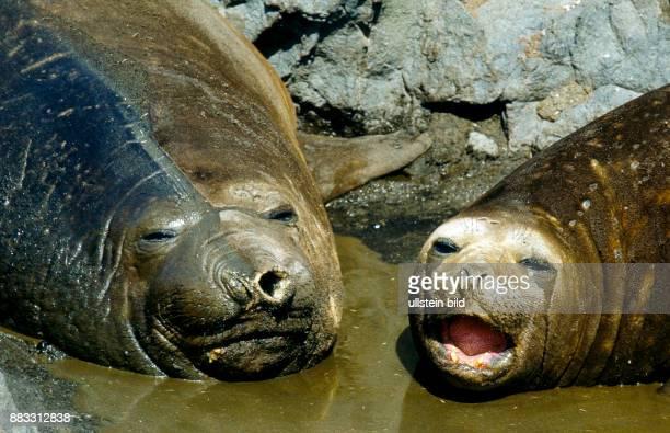 Die in der Packeisregion der Antarktis lebenden Suedlichen SeeElefanten sind die groessten Vertreter der Robben die Bullen mit dem typischen...