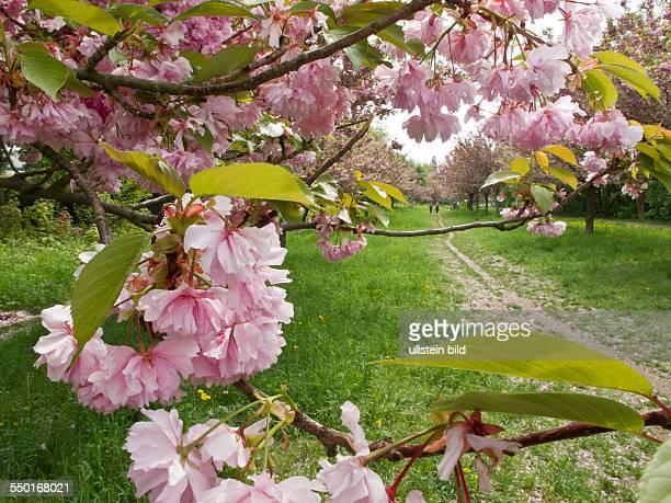 Die Kirschblütenallee auf dem ehemaligen Grenzstreifen in Teltow Aus Freude über den Fall der Mauer im November 1989 rief ein japanischer...