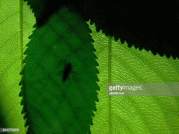 Die Konturen einer Fliege im Sommer Licht auf einem gruenen Blatt