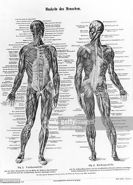 Anatomie Muskeln Stock Photos and Pictures | Getty Images