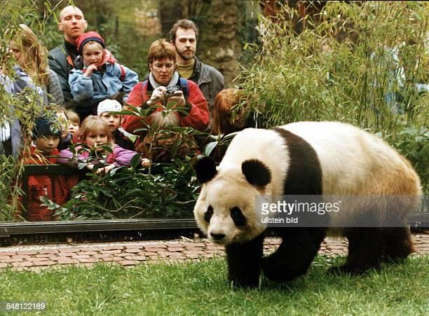 Die neue Pandabärin Yan Yan in ihrem Gehege im Berliner Zoo, dahinter: Zoobesucher - April 1995
