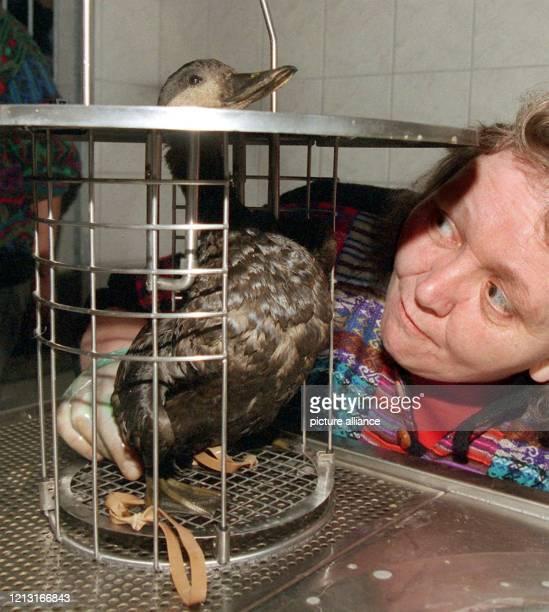 Die niederländische Vogelschützerin Gaatske Wiersma bereitet in der Seevogelrettungsstation des Deutschen Tierschutzbundes in Kappeln eine kleine...
