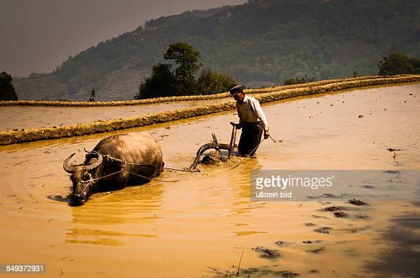 die Reisterrassen von Yuanyang Bauer beim Pfluegen mit einem Wasserbueffel